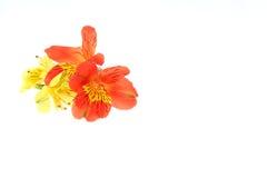 Flower head of alstroemeria Stock Image