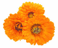 Flower head of calendula Royalty Free Stock Images