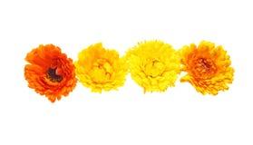 Flower head of calendula Stock Image