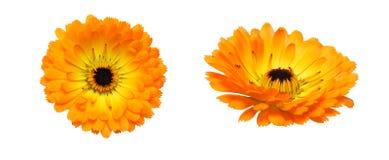 Flower head of calendula Royalty Free Stock Image