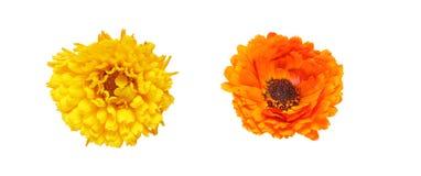Flower head of calendula Royalty Free Stock Photos