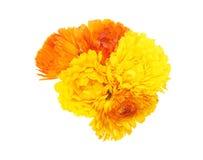 Flower head of calendula Royalty Free Stock Photo