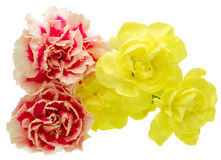 Flower head of carnation Stock Photography