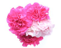 Flower head of carnation Royalty Free Stock Photography