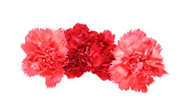 Flower head of carnation Royalty Free Stock Photo