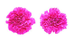 Flower head of carnation Royalty Free Stock Image
