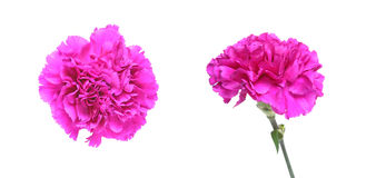 Flower head of carnation Royalty Free Stock Images
