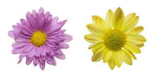 Flower head of chrysanthemum Stock Photo