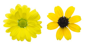 Flower head of chrysanthemum and rudbeckia,black-eyed susa Stock Photo