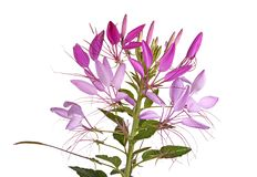 Flower head of a cleome isolated on white stock photo