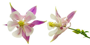 Flower head of columbine Stock Photography