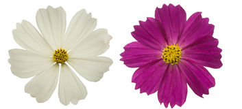 Flower head of cosmos Royalty Free Stock Photography