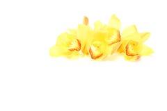 Flower head of cymbidium Stock Photos