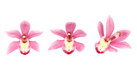 Flower head of cymbidium Royalty Free Stock Photo