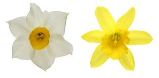 Flower head of daffodil Royalty Free Stock Photography