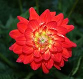 Flower Head of the Dahlia. Royalty Free Stock Images