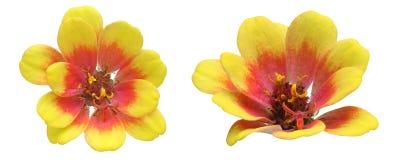 Flower head of Dahlia Stock Photos