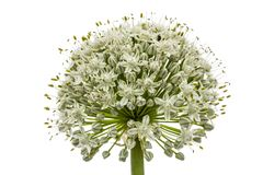 Flower head of  edible onion, lat. Allium cepa, isolated on whit Stock Images