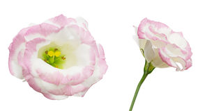 Flower head of eustoma Royalty Free Stock Photography
