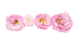 Flower head of eustoma Royalty Free Stock Photo