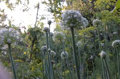 Flower head of freah green garlic in the garden, summer day stock photography