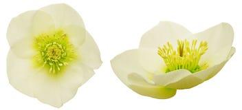 Flower head of hellebore Stock Images