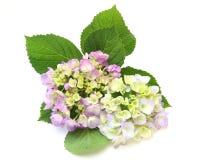Flower head of the hydrangea Stock Photography