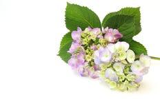 Flower head of the hydrangea Royalty Free Stock Image