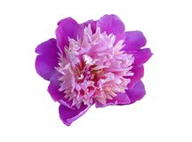 Flower head isolated Royalty Free Stock Image