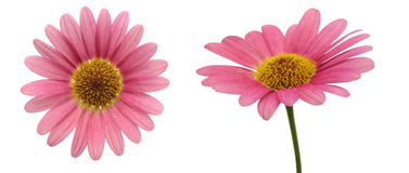 Flower head of marguerite Royalty Free Stock Photos