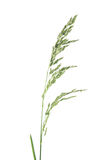 Flower head of meadow-grass isolated on white. Background stock photo