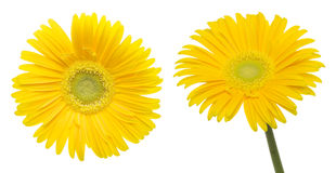 Flower Head Of The Transvaal Daisy In A White Background Stock Image