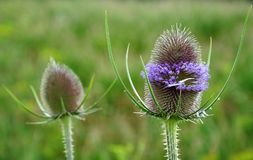 Flower Head Of Wild Teasel With Lavender Blossoms Royalty Free Stock Image