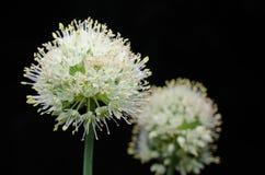 Flower head of an onion (Allium cepa) on black Royalty Free Stock Photos