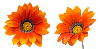 Flower head of orange gazania Stock Photos
