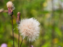 Flower head with parachute seeds. Flower head with parachute pappus seeds of sonchus plant Royalty Free Stock Photos