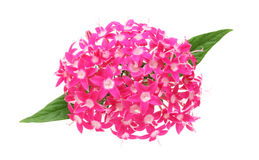 Flower head of pentas Stock Images
