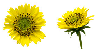 Flower head of perennial sunflower Stock Photography