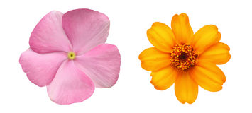 Flower head of periwinkle and zinnia Stock Photo
