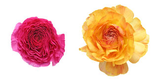 Flower head of Persian buttercup Stock Photo