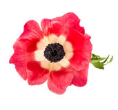 Flower head Pink anemone isolated white background Stock Photos