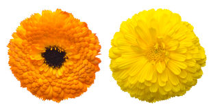 Flower head of pod marigold Stock Images