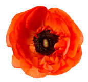 Flower head Poppy Red anemone isolated white background Royalty Free Stock Photography