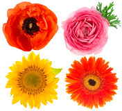 Flower head. ranunculus, sunflower, anemone isolated on white Stock Photography