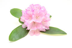 Flower head of rhododendron with leaf Stock Images