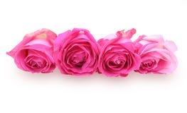 Flower head of roses Stock Image