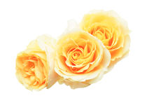 Flower head of roses Royalty Free Stock Images