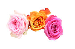 Flower head of roses Royalty Free Stock Image