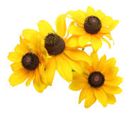 Flower head of Rudbeckia Royalty Free Stock Images