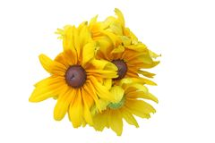 Flower head of Rudbeckia in a white background Royalty Free Stock Photo